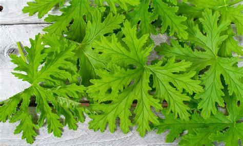 citranella plant mosquito repellent citronella plant groupon