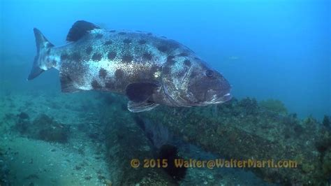 bass sea giant grouper broomtail