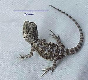 File:Baby bearded dragon.jpg - Wikimedia Commons