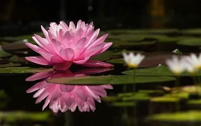 Water Lilies Lotus Flowers Wallpapers Desktop Screen