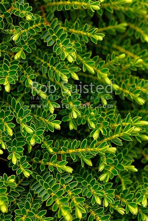 hebe odora nz native plant  called  boxwood