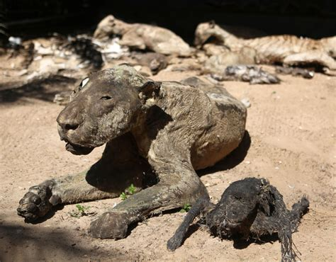 mummified animals  gaza pictures pics expresscouk