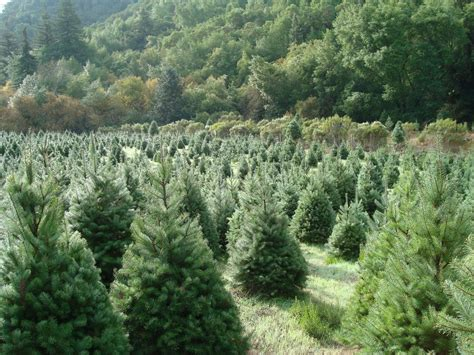 hubbards christmas tree farm best u cut tree farms in the bay area