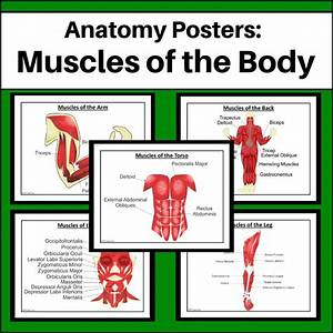 Muscular System Teaching Resources Perfect For Any Middle