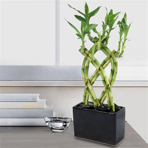 plante dans chambre à coucher bambou en pot et lucky bambou entretien et symbolique