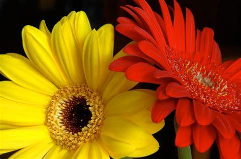 imagenes de flores  plantas gerbera