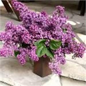 Wann Blüht Flieder : flieder schneiden vermehren pflege tipps syringa spec ~ Lizthompson.info Haus und Dekorationen