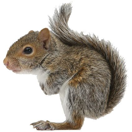 squirrel png    size