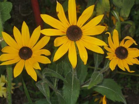 cuisine jardin trois fleurs jaunes photo de jardin poitevin en juillet