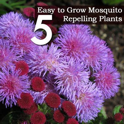 how to grow mosquito plant 5 easy to grow mosquito repelling plants outdoor deco and garden idea s pinterest a well