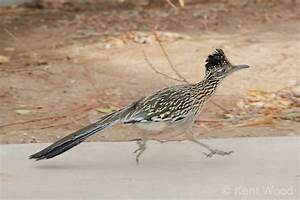 17 Best Images About Roadrunners And Others On Pinterest