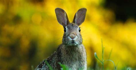 cuisiner le lapin de garenne l 39 du lapin en australie oryctolagus cuniculus