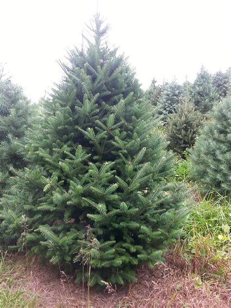 collection canaan fir christmas tree pictures best