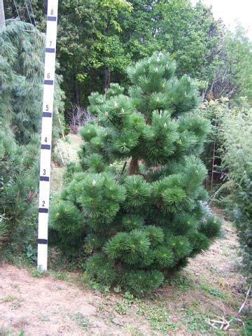thunderhead japanese black pine  landscaping