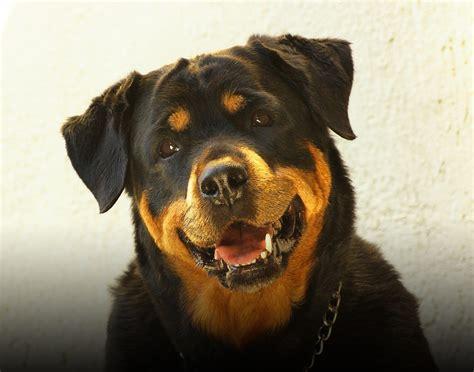 hond met grote baarmoederontsteking hokamix