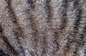 Tabby Cat Fur