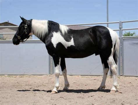 percheron draft horse horses cross pinto crosses spotted walker shire breeds farms pretty breed animal quarter dressage tennesse