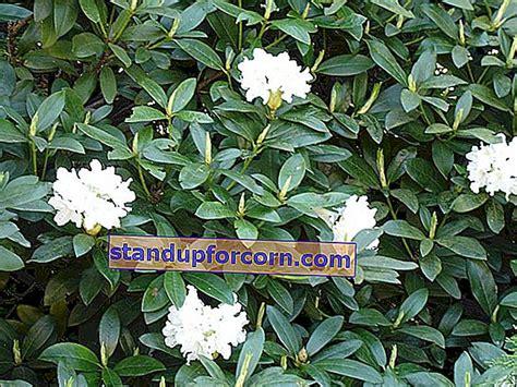 Rododendras, rododendras - auginimas, priežiūra, dauginimas