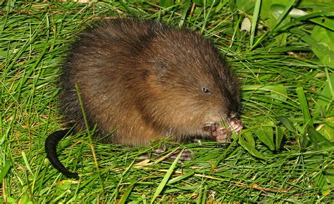 Images Of Muskrats Muskrat Images Search