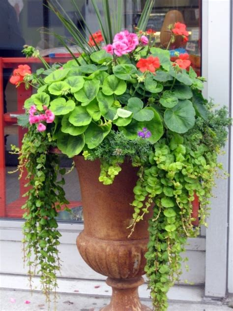 planting geraniums in pots creeping geraniums flowers in containers