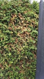 Thuja Smaragd Wird Braun Was Tun : thuja braun thuja occ smaragd lebensbaum braune stellen ~ Lizthompson.info Haus und Dekorationen