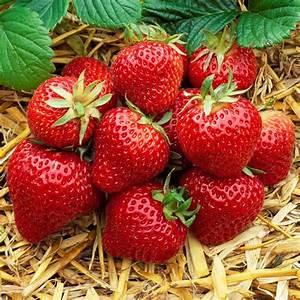 Plant De Fraisier : 12 mixed strawberries 39 fragaria 39 growing healthy garden ~ Premium-room.com Idées de Décoration
