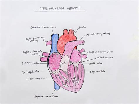 draw  internal structure   heart
