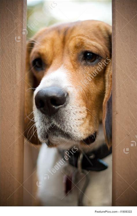 sad beagle picture