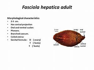 Fasciola hepatica sheep liver fluke - ppt video online ...