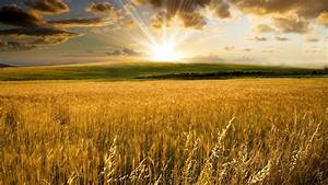 A...stand...Download Golden wheat field 1920x1080 HD ...