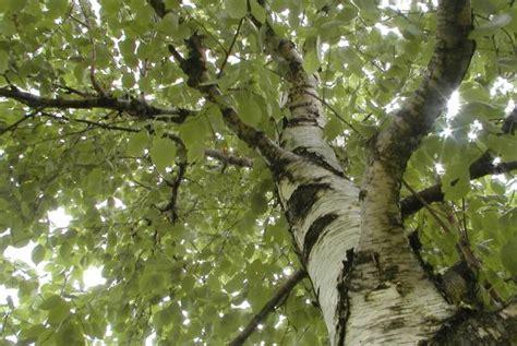 taille des arbres feuillus espace pour la vie