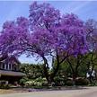 Jacaranda mimosifolia (Jacaranda Tree) 15 Fresh seeds ...