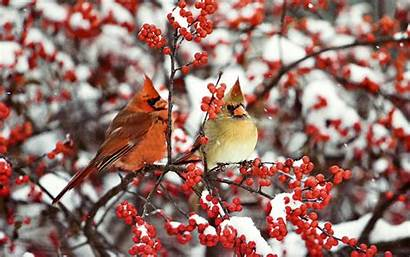 Cardinal Snow Pair Birds Winter Bird Desktop