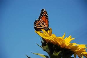 Butterfly  U0026 Sunflower 3  U2013 Kapcha The World