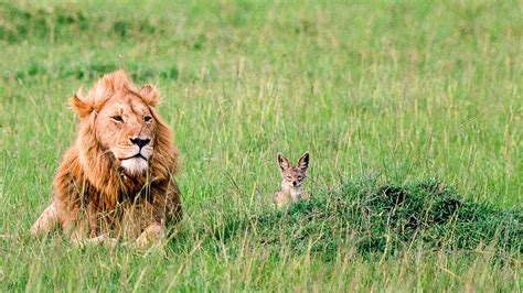 carnivores predators social groups jackals unlike factors sustainable keep help control science main