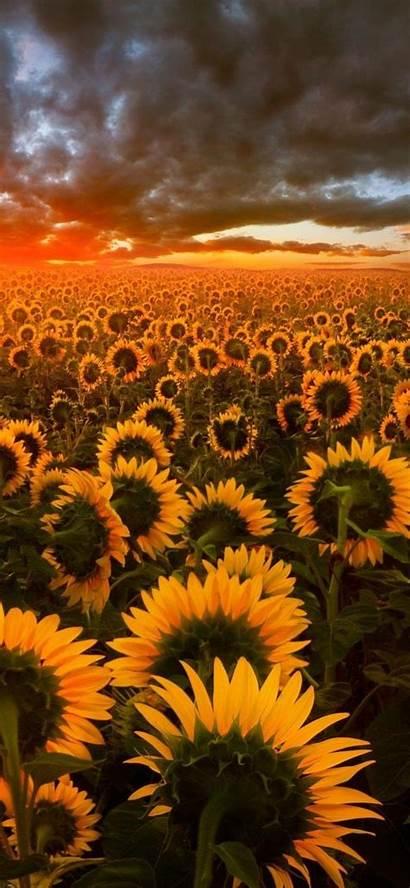 Sunflower Field Iphone Wallpapers Flower Galaxy Nature