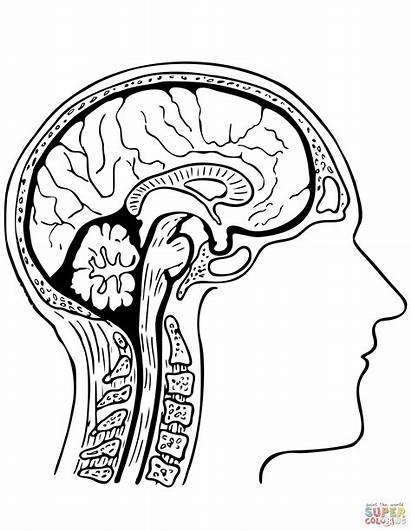 Colorear Dibujos Cerebro Dibujo Brain Coloring Human