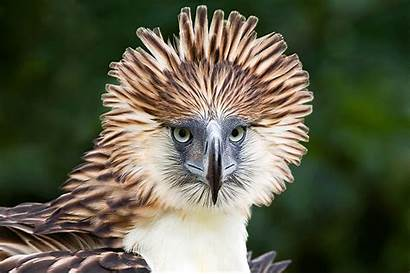 Eagle Related Voting Philippine Before Alain Captive