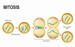 Difference Between Mitosis And Meiosis En 2020  Con