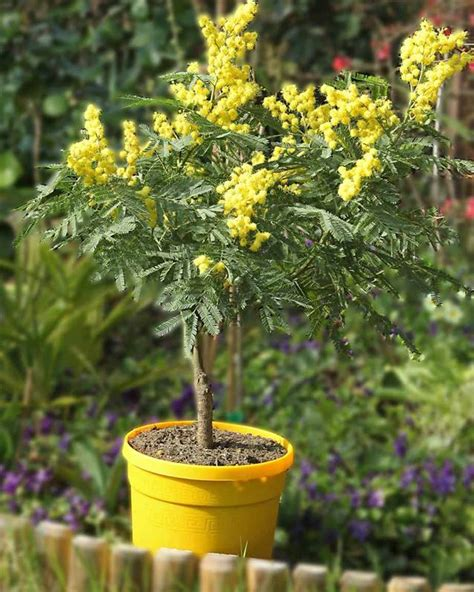 acacia mimosa dhiver arbuste  fleurs jaunes jardin pot