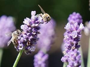 Lavendel Pflanzen Im Topf : lavendel zieht menschen und bienen gleicherma en an das ~ Michelbontemps.com Haus und Dekorationen