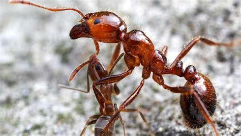 peso delle formiche sulla terra supera il peso degli umani