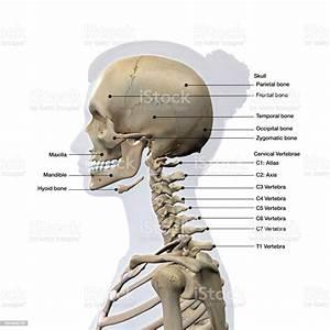 Female Lateral View Of Skull And Neck Vertebrae Bones