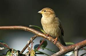 Heimische Singvögel Bilder : singv gel ~ Whattoseeinmadrid.com Haus und Dekorationen