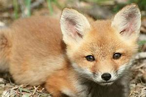 10 Baby Animals That are Too Cute for Words | Foxes, Fox ...