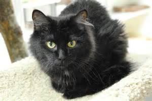 black cat breeds fluffy black cat breeds search black cats