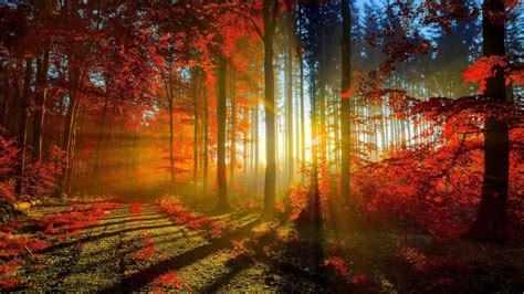 autumn red forest rays ultra hd wallpaper