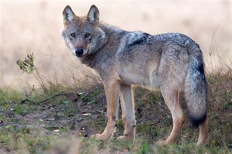 Wölfe In Unserer Gesellschaft