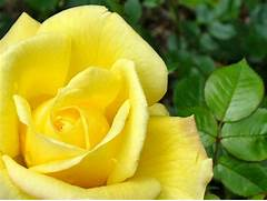 yellow rose flowers wallpapers  285 29 jpg  Beautiful Pictures Of Yellow Roses
