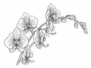 Oriental Orchid pencil study | Drawings | Pinterest ...